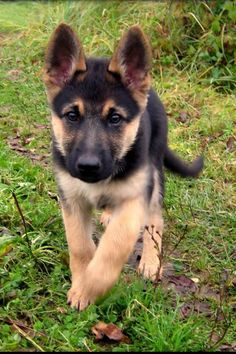 Baby German Shepherd Just precious