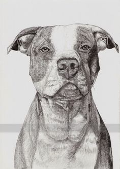 American pitbull terrier by IviiK on DeviantArt