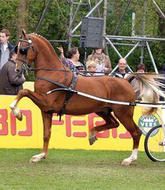 Dutch Harness Horse stallion Bakboord HBC