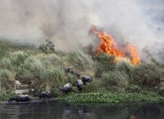 Buffalos escape a fire spreading on a patch of land by the Yamuna river on a hot summer day in New Delhi, India, June 9, 2015. REUTERS/Anindito Mukherjee