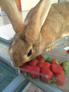 Strawberry lover                                                     #pets #rabbits #animals