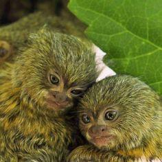 pygmy marmoset/Dwarf Monkey - ouistiti pygmée / singe nain via Ғасєвффк Әят Small Monkey, Cute Baby Monkey, Pet Monkey, Marmoset Monkey, Pygmy Marmoset, Primates, Animals Images, Animal Pictures, Cute Little Animals