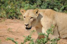 Female Lion by shahar.bar, via Flickr