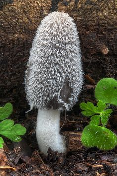 Hare'sfoot Inkcap mushroom (Coprinopsis lagopus) ~ By Stefano Vianello