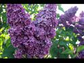 Video and Text. How to trim Lilacs. To keep your lilac thriving and blooming, some periodic pruning is advised. Learn the ins and outs of pruning lilacs and learn long term lilac tips.