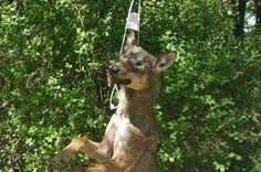 """Ancora sul lupo impiccato a Rieti. ENPA: """"Responsabilità politica e della campagna d'odio"""""""