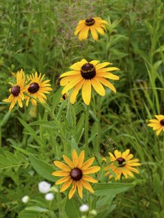 Black-Eyed Susan. A tough, native daisy-like wildflower, the Black-Eyed Susan attracts bees, butterflies, and birds.  It is the state flower of Maryland and might be the most common of all American wildflowers.
