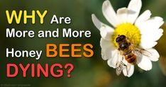 There's a 42 percent honeybee colony loss from April 2014 to April 2015, which is the second highest annual loss to date. http://articles.mercola.com/sites/articles/archive/2015/05/26/honeybee-losses.aspx