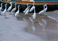 Las costas colombianas son el hogar de cientos de especies de fauna y flora, resultado de una compleja interacción entre elementos biológicos de todo el continente americano. Garzas patiamarillas en las playas de la bahía de Cartagena.