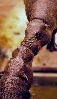 **baby hippos kiss