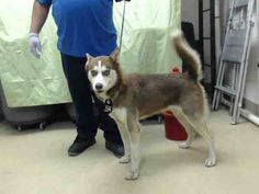 HURRY PLEASE! i NEED A HOME TODAY! SUPER URGENT - HOUSTON - This DOG - ID#A421057 I am a female, red and white Siberian Husky. The shelter staff think I am about 2 years old. I have been at the shelter since Dec 10, 2014.