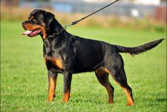 von hessischerhof rottweilers-rottweiler puppies for sale in virginia