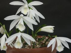 Pleione formosana polar sun. little hardy ground orchid, does not like to be wet in the winter