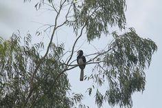 Malabar-pied hornbill, Palsambe, Kolhapur,Maharashtra