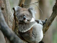 Koala  Fotografía de Trevor Keyler