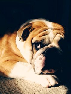 English Bulldog... Hey now - don't look at me... You smelt it - so, You dealt it.