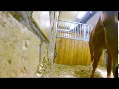 Maybe the best horse escape caught on video…horse removing halter on video. | Stacy Westfall Horseblog