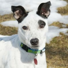 Hi! my name is Awesome Amy and  I am looking for a loving furever home.  I was rescued from a very unsafe beach for dogs in Puerto Rico  I am about 1 year old and 20 lbs.  I  am good with everyone and love other dogs. I am  located in Massachusetts....