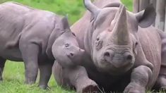 Baby rhino trying to get mom to play. Baby rhino trying to get mom to play. Cute Baby Animals, Animals And Pets, Funny Animals, Cute Hippo, Animals Images, Animal Pictures, Zoo Pictures, Rhino Tattoo, Animals Tattoo