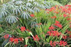 Last week Chris and I popped to the New Forest for a couple of days and on the way back we passed the Sir Harold Hillier Arboretum and Gardens. Crocosmia, New Forest, Garden Design, Gardens, London, Plants, Outdoor Gardens, Landscape Designs, Plant