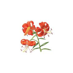 Tiger Lily ❤ liked on Polyvore featuring flowers