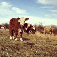 Hereford calf - Montana