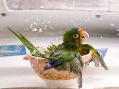 Parrot Bathing