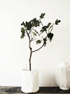 Just lovely - fig tree!