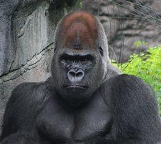Silverback Gorilla   Flickr - Photo Sharing!