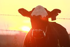 Country Photography - Cow & Sunset - by Holly Spencer