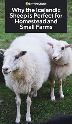 Why the Icelandic Sheep is Perfect for Homestead and Small Farms - Pickity - Beauty, Food, Home Decor, DIY & Crafts Iceland Beach, Iceland Flag, Iceland Road Trip, Iceland Travel, Iceland House, Honeymoon Iceland, Reykjavik Iceland, Iceland Landscape, Sheep Breeds