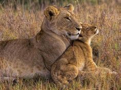Lion Baby with Mother by Henry Jager Shortly after sunrise, the lions awake. The lion baby cuddles up to its mother before it goes playing with the other cubs. Animals And Pets, Baby Animals, Cute Animals, Carnivore, Mundo Animal, Mother And Baby, Stretched Canvas Prints, Big Cats, Animals Beautiful