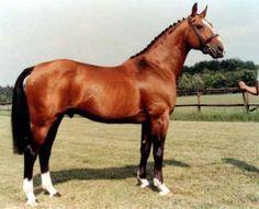 Les chevaux de sports - Almé Z - Almé Z au modèle