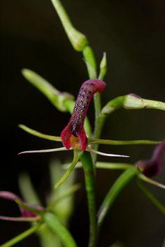 Cryptostylis leptochila | Orchids Online