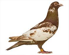 Recessive Red Racing Pigeons