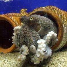 free Animals Octopus wallpaper, resolution : 1000 x tags: Animals, Octopus. Underwater Creatures, Underwater Life, Ocean Creatures, Octopus Photos, Octopus Artwork, Octopus Squid, Mimic Octopus, Ocean Life, Marine Life