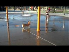 Incredibly Cute Corgi Shows Us How to Enjoy the 'Dog' Days of Summer (VIDEO)