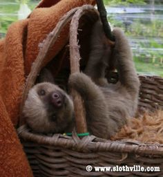 Lucy the Sloth