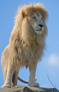 Big Cats - White Lion  propitious galaxy