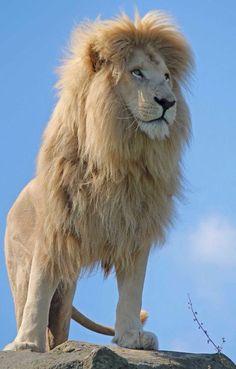 Big Cats - White Lion
