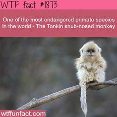 most Endangerd Primate species