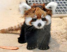 子レッサーパンダ、早くも人気者に 西山動物園 | 社会 | 福井のニュース | 福井新聞ONLINE