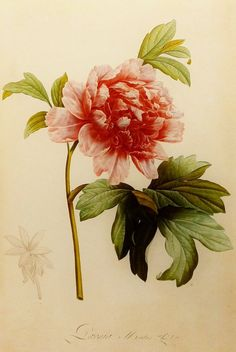 Mountain Peony, Redoute Flower Print, 19th Century Artist, Botanical Illustration (Red Flower Book Plate No. 111) by Century