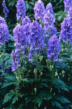 The best plants for a cottage garden are simple varieties that haven& been highly bred. Plants such as anemones and golden marguerite create loose arrangements, while the tall spires of lupines and hollyhocks provide structure. Cottage Garden Plants, Cottage Gardens, Sun Garden, Farm Cottage, Cottage Style, Hardscape Design, Shade Structure, Plant Pictures, Plantation