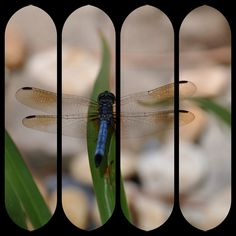 Dragonfly in Fours