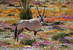 Tours to see the Wild Flowers of South Africa are popular in the spring months which are August to September. This time of year ties in nicely with the best time for a wildlife safari as well. Nature Landscape, Namibia, Out Of Africa, Game Reserve, Mundo Animal, African Animals, African Safari, Summer Pictures, Machu Picchu