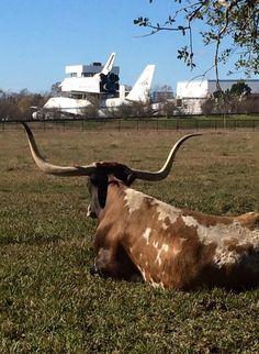"Texas longhorn - Houston, Texas. (Pinned also to the ""Texas"" board.)"