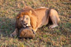 Lions I love Photo credit: William Burrard-Lucas