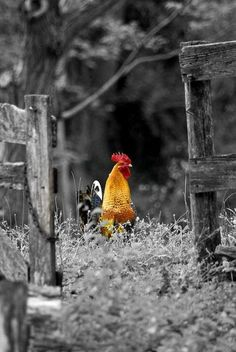 touch of color Rooster