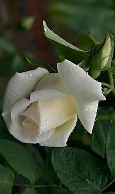 Exotic Flowers, Pretty Flowers, White Roses, Red Roses, One Rose, Kinds Of Salad, Types Of Flowers, Beautiful Roses, Rose Buds